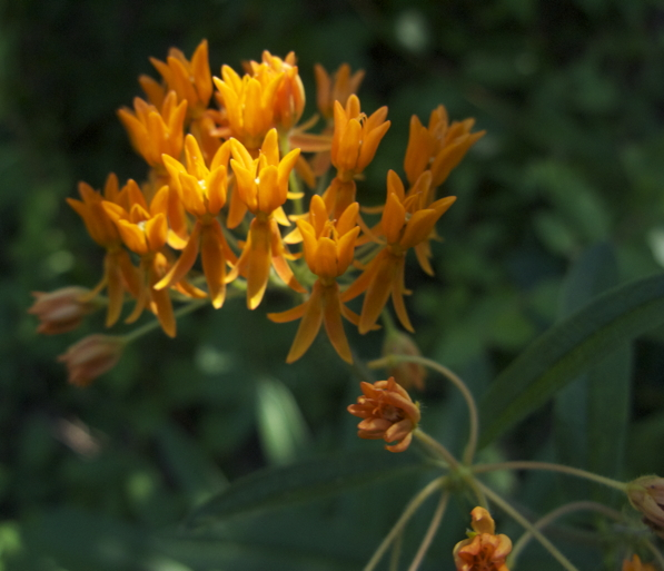 butterfly_milkweed